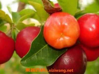 针叶樱桃维生素c怎么吃 针叶樱桃的功效与作用