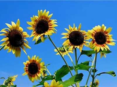 向日葵的信息 向日葵象征着什么意思